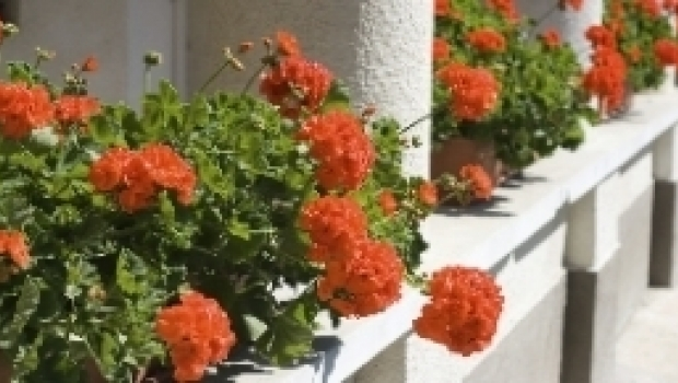 Winter care for geranium