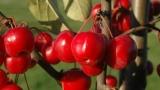 Ornamental apple tree in the garden