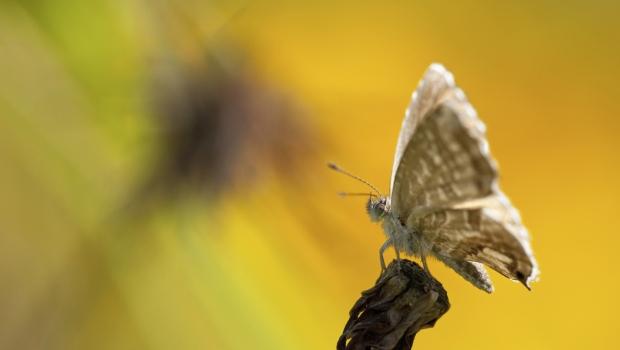 Butterfly geranium