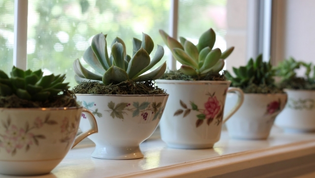 Small plants in tea cups