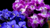 African Violet in the house