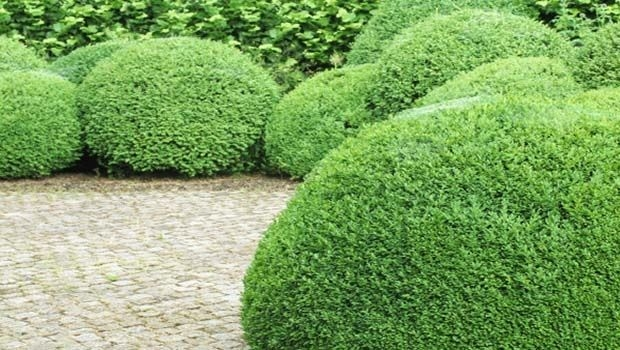 Hedges: location and care