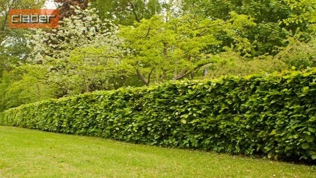 The hedges in the garden