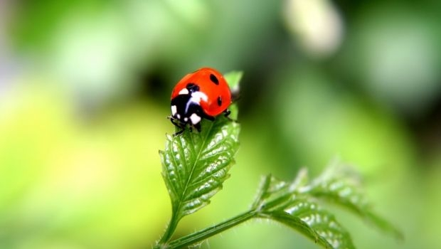 Fight pest with ladybirds
