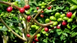 Cultivating Coffea Arabica at home
